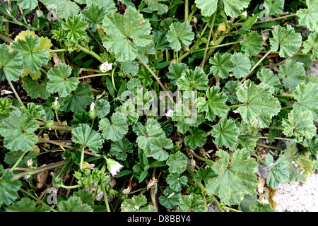 common mallow weed. - Stock Photo