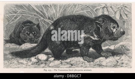 Tasmanian Devil - Stock Photo