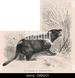 Tasmanian Devil 2 - Stock Photo
