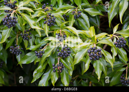 Berries of Hedera helix (Common Ivy, English Ivy) , Scotland, May Stock Photo