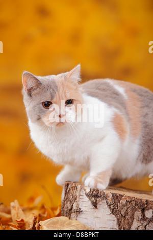 British Shorthair Cat, lilac-tortie-white |Britische Kurzhaarkatze, lilac-tortie-weiss / BKH - Stock Photo