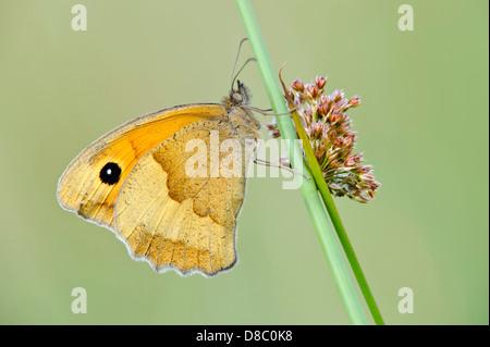 meadow brown, maniola jurtina, goldenstedter moor, lower saxony, germany - Stock Photo