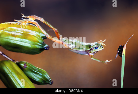 European tree frog (Hyla Arborea) jumping - Stock Photo
