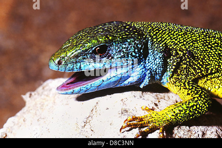 European green lizard (Lacerta viridis) - Stock Photo