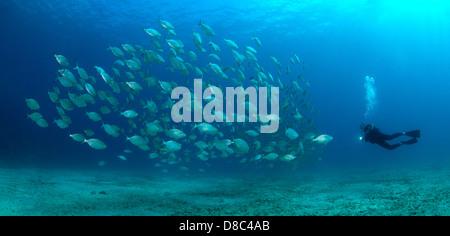 Diver and school of Salema porgy fish (Dasyatis centroura), Morro del Jable, Fuerteventura, Canary Islands, underwater - Stock Photo