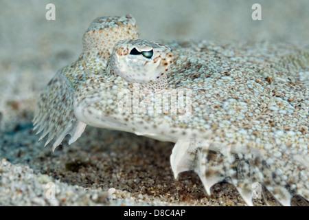 European plaice (Pleuronectes platessa), Morro del Jable, Fuerteventura, Canary Islands, underwater shot - Stock Photo