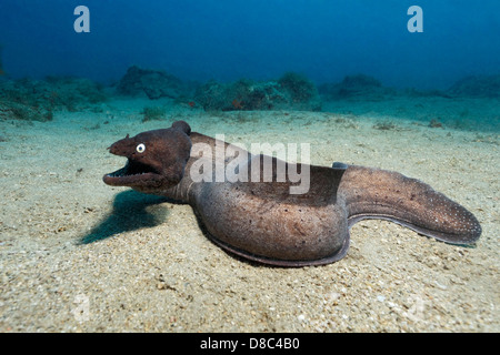 Black moray eel (Muraena augusti), Morro del Jable, Fuerteventura, Canary Islands, underwater shot - Stock Photo
