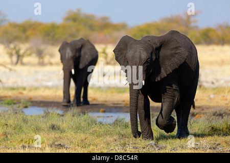 Two African Bush Elephants (Loxodonta africana) Rietfontein, Namibia - Stock Photo
