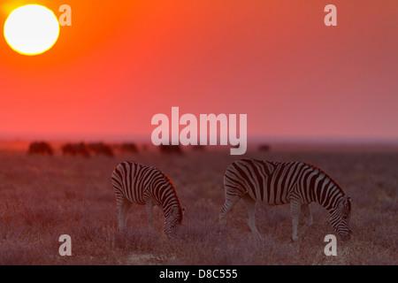 Two Plains zebras (Equus quagga) at sunset, Okondeka Waterhole, Namibia - Stock Photo