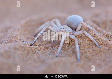 Spider on sandy soil, Little 5 Tour, Namibia - Stock Photo