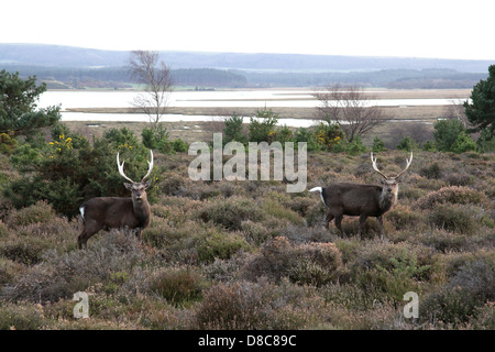 Two male Japanese Sika Deer photographed at Arne in Dorset. - Stock Photo