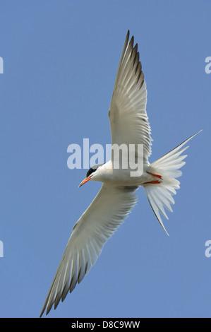 common tern, sterna hirundo, north sea, wilhelmshaven, lower saxony, germany - Stock Photo
