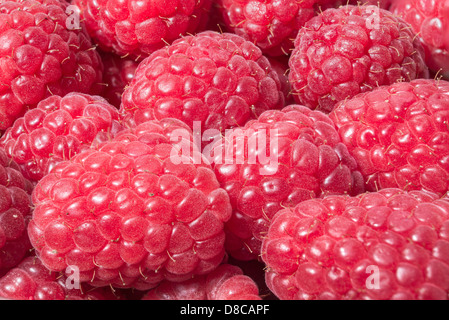 Macro photo of of freshly picked ripe red raspberries. - Stock Photo