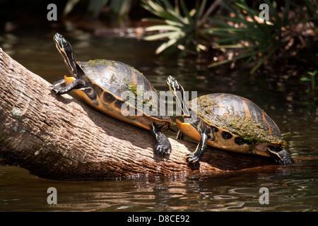 Florida Red-bellied Turtles - Green Cay Wetlands - Boynton Beach, Florida USA - Stock Photo
