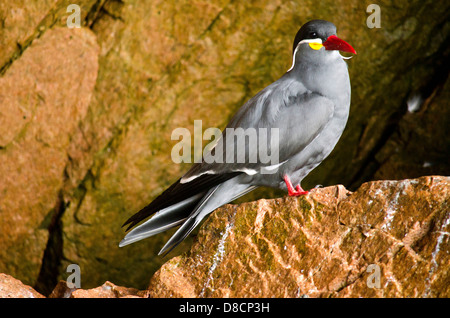 National Paracas Reserve. Peru. Inca Tern Larosterna inca in te Ballestas islands. - Stock Photo