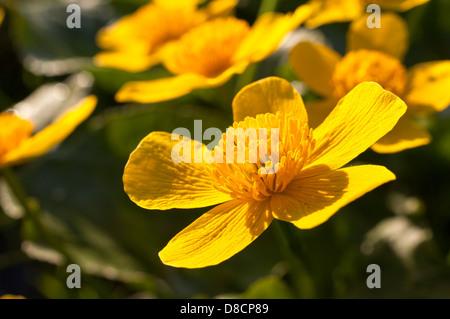Caltha palustris - Stock Photo