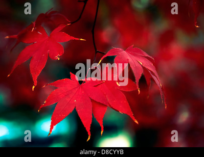 Closeup of a cluster of bright red leaves on a Japanese maple tree in a Virginia garden.  Blurred background behind - Stock Photo
