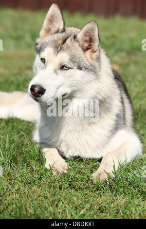 Portrait of Siberian husky lying on the grass - Stock Photo