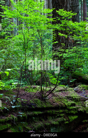 A rotting fallen tree giving life to new growth in a temperate rain forest - Stock Photo