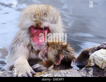 Japanese Snow Monkeys (macaques) in Nagano, Japan. - Stock Photo