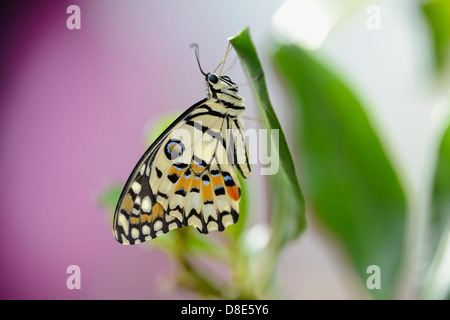 Butterfly Common Lime Butterfly (Papilio demoleus) on a leaf - Stock Photo