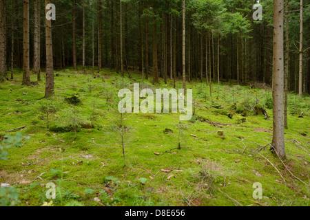 Conifer forest, Upper Palatinate, Bavaria, Germany - Stock Photo