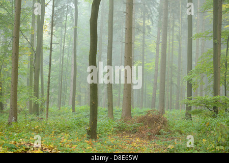 Beech forest in autumn, Upper Palatinate, Bavaria, Germany - Stock Photo