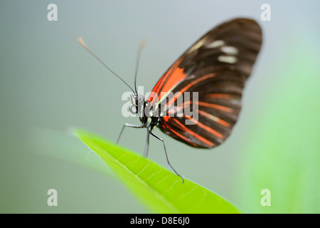 Butterfly Doris Longwing (Laparus doris) on a leaf - Stock Photo