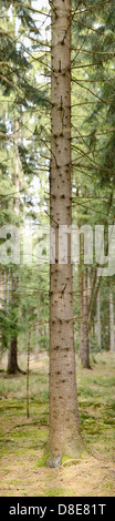 Tree trunk from a Norway Spruce (Picea abies) - Stock Photo