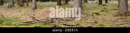Amthill and Norway Spruces (Picea abies) - Stock Photo