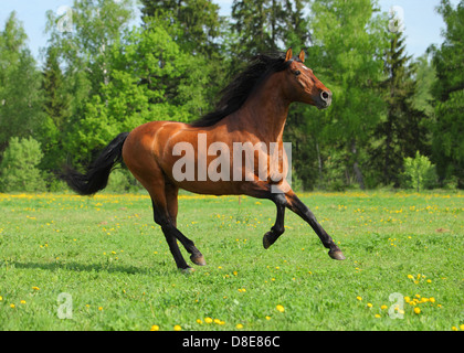 Bay Andalusian stallion gallop in sunset - Stock Photo