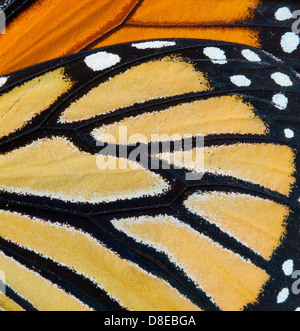 MONARCH BUTTERFLY (Danaus plexippus) wing detail, Florida, USA. - Stock Photo