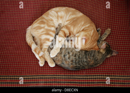 Two cats are sleeping curled up on bedding. - Stock Photo