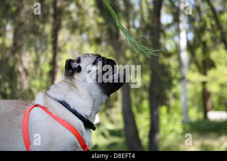 Dog Pug on green grass in a park, playing - Stock Photo