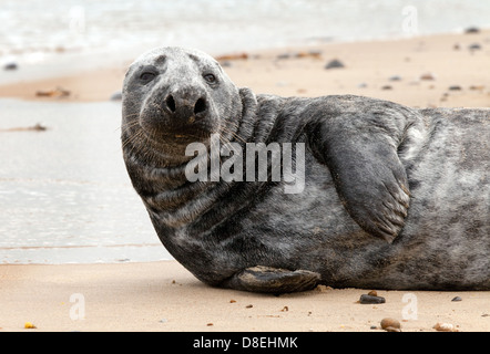 Close up of a Harbour ( Harbor ) seal seals or Common Seal (Phoca vitulina), Horsey Beach, Norfolk UK - Stock Photo