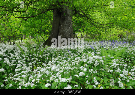 Ramsons or wild garlic and bluebells under a canopy of beech leaves in spring - Stock Photo