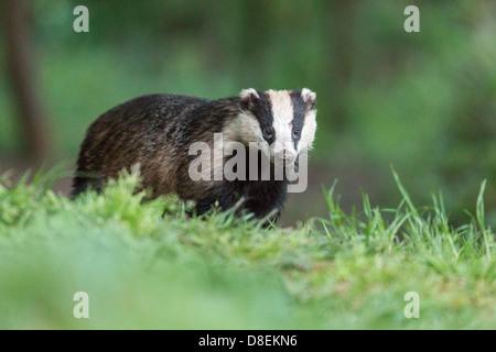 Female Badger (Meles meles) in woodland, portrait. UK - Stock Photo