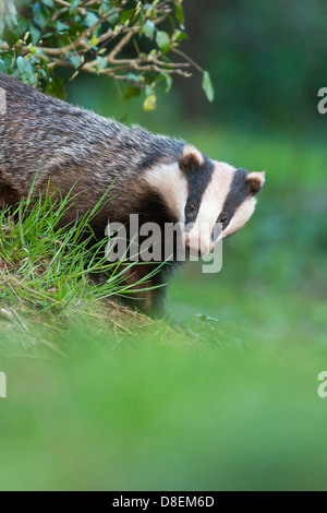 Female Badger (Meles meles) emerging from woodland sett, portrait. UK - Stock Photo
