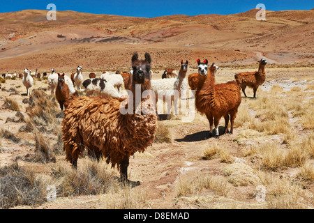 Llamas (Lama glama) on Altiplano, Bolivia - Stock Photo