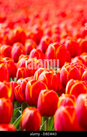 Red tulips in the Netherlands - Stock Photo