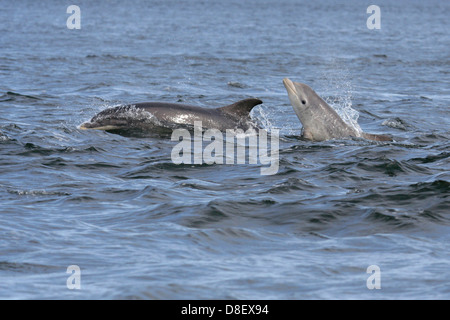 Bottlenose dolphin (tursiops truncatus), mother and calf, Moray Firth, Scotland, UK - Stock Photo