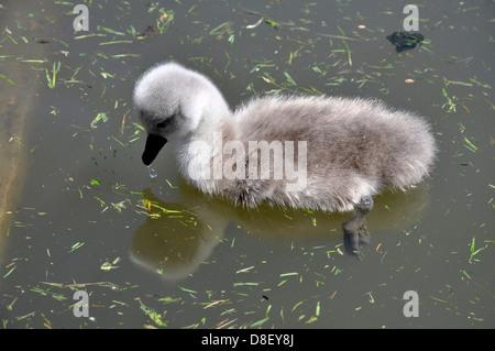 Cygnet Mute swan (Cygnus olor), Abbotsbury Swannery, Dorset - Stock Photo