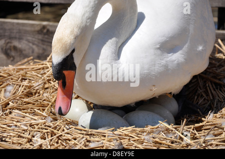 Mute swan (Cygnus olor) on eggs, Abbotsbury Swannery, Dorset - Stock Photo