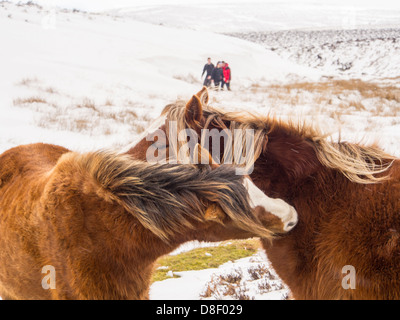 Fell ponies on the Long Mynd above Church Stretton, during unseasonal cold weather in late March, Shropshire, UK. - Stock Photo
