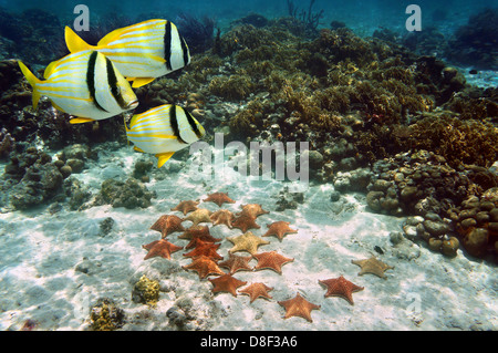 Coral reef with tropical fish and a group of starfish on the ocean floor, Atlantic, Bahamas - Stock Photo