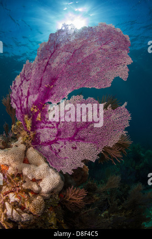 Purple gorgonian sea fan waving in the current atop a reef in Key Largo, Florida. - Stock Photo
