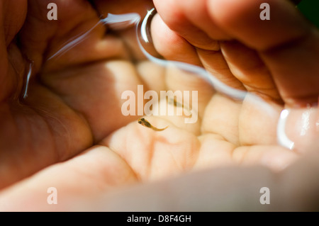 Holding small live fish fry in hand - Stock Photo