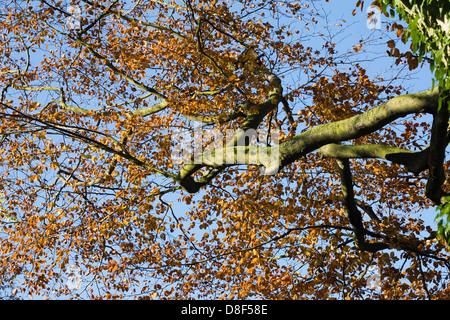 Fagus sylvatica in Autumn. Autumn sunlight on the branches of a Beech tree. - Stock Photo