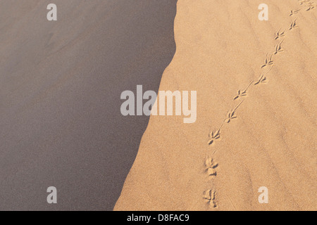 Seagull / bird footprints across the ridge of a sand dune. UK