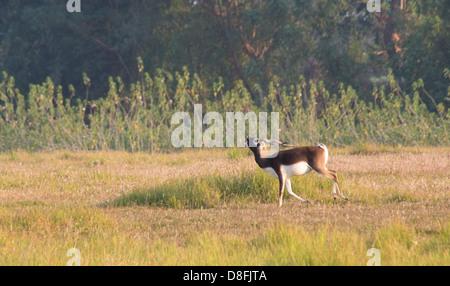 Adult male Black Buck antelope (Antilope cervicapra) in the Black Buck Conservation Area, Khairapur, near Gulariya, - Stock Photo